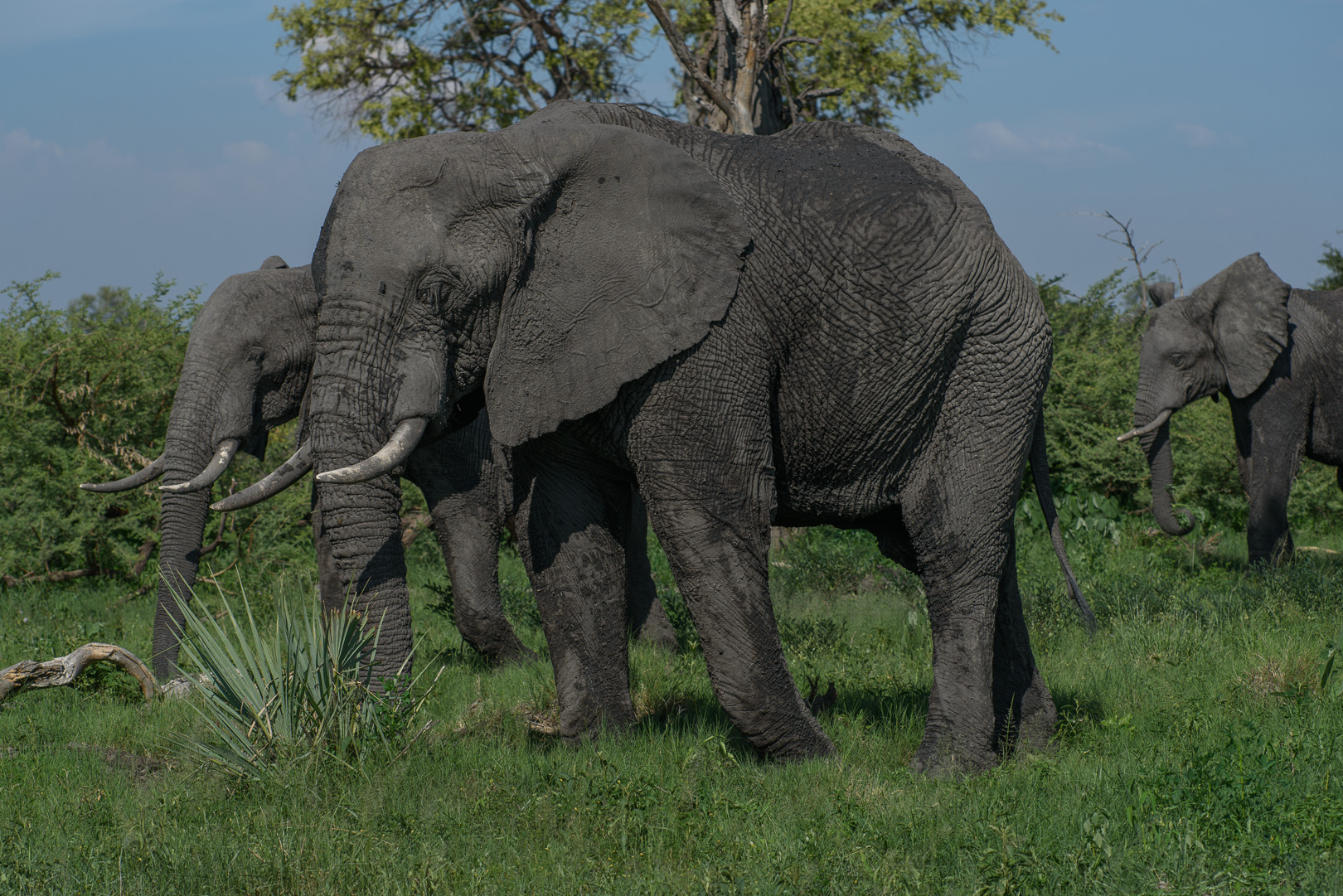 There are many elephants around the camp