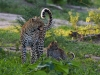 Female leopard with young cub